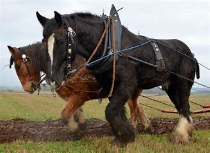 logie steading Clydesdales